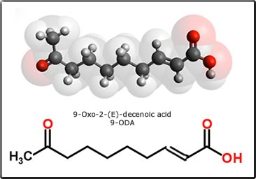 9-oxo-2-(E)-decenoic acid
