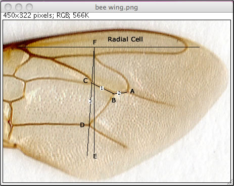 bee wing analysis