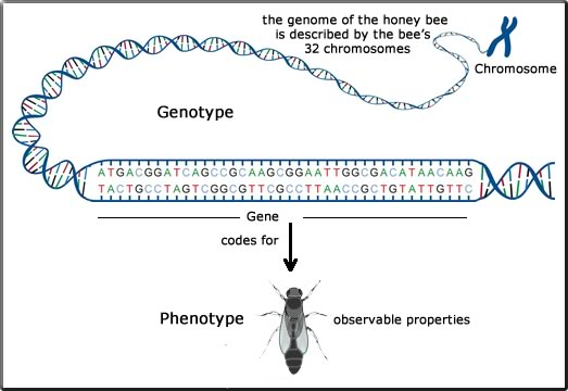what are the factors that affect genotype phenotype relationship